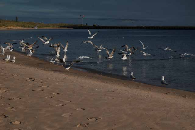 Seagulls on Frankfort's beach